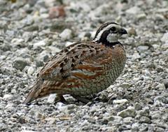 IMG_3194 copy-copy (lbj.birds) Tags: bird nature wildlife kansas quail flinthills bobwhite northernbobwhite