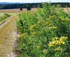 (:Linda:) Tags: germany village path thuringia tansy brden huntersperch