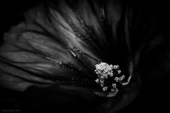 flower macro (rich lewis) Tags: flower macro nature monochrome mono macrophotography richlewis