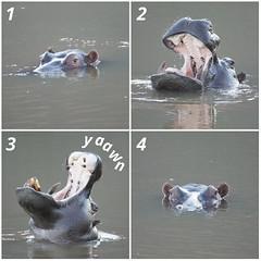 How to yawn like a hippo (Quinn Chow) Tags: africa lake water big pond five marathon wildlife south yawn safari cheetah hippo savannah plains limpopo lowveld highveld entabeni hippoptamus 4on4in40