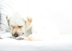 Fleur vandaag 3 jaar (rijkjevandergeest) Tags: dog labrador hond birthday white wit