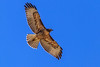The Soaring Red Tail Hawk (http://fineartamerica.com/profiles/robert-bales.ht) Tags: birds gemcounty hawk haybales idaho people photo places states buteojamaicensis birdofprey buteos migratory falconry monogamous bird predator raptor redtailedhawk bill nature redtailed wildlife outdoors chickenhawk profile talons feather perch majestic prey hunting feathered sharpeyed carnivore tail redrapor red aves hunters sensational spectacular awesome magnificent peaceful serene surreal sublime magical spiritual inspiring inspirational superb robertbales