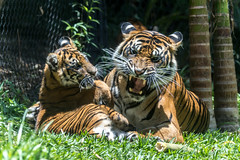 Cathy and Joanne (ToddLahman) Tags: cat canon teddy tiger tigers cathy sumatrantiger joanne escondido canon100400 tigercub tigertrail babysumatrantiger canon7dmkii