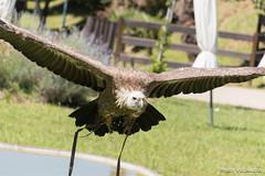 Buitre en pleno vuelo (Photo Valdueza) Tags: cantabria buitre leonado vuelo primerplano cabarceno