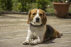 Beagle (Goemon_87) Tags: dog beagle bau