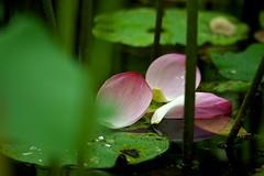 Floating (tez-guitar) Tags: lotus flower blossoms bloom summer green machida machida pentax petal pentaxart sigma