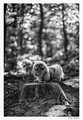 again in the woods (Alja Ani Tuna) Tags: 64 64365 365 365challenge 365project photo365 project365 portrait animal onephotoaday onceaday k9 d800 dailyphoto day dog king pekingese imperial imperialpekingese animalportrait small nikond800 nikkor nikkor85mm nature naturallight nice 85mmf18 f18 forest woods trees plants tree treestump stump kingofthehill 2ndday bw blackandwhite black beautiful blackwhite white