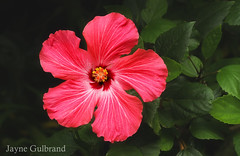 My first Hibiscus bloom of the season. (nature55) Tags: pink flowers summer nature beautiful gardens wisconsin salmon hibiscus blooms