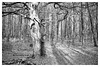magic forrest III (TK@Pictures) Tags: leica trees 50mm forrest apo monochrom schwarzweiss wald hardt