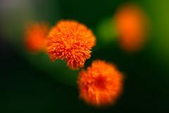 Orange Pom Pom Flowers Macro f1.2 (dennisgg2002) Tags: towerhillbotanicalgardenboylston massachusetts flowers vintage lens wide open