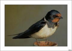 Mirada (V- strom) Tags: nikon naturaleza golondrina fauna ave