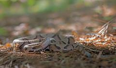 Copperhead (cre8foru2009) Tags: copperhead agkistrodoncontortrix viper snake herping reptile nikon