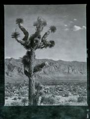 Joshua-Tree (allengrafix) Tags: blackandwhite mamiyarb67 joshuatree ilford delta 100