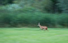 Fil (Eric Penet) Tags: brocard animal avesnois france nord nature cervid chevreuil mammifre mle mammal wildlife wild faune roe roedeer deer