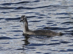 Great Crested Grebe (Mark Walpole) Tags: great crested grebe old moor rspb