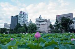 GR001763.jpg (Ryo(りょう)) Tags: lotusflowers 28mm shinobazunoike ueno tokyo japan ricohgrii