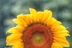 Sunflower with raindrops (JPShen) Tags: raindrops bright yellow