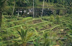 Bali, Gunung Kawi Sebatu, rice fields (blauepics) Tags: indonesien indonesia indonesian indonesische bali island ubud gunung kawi sebatu trees bume natur landscape landschaft reisfelder rice reis fields terraces terrassen green grn agriculture landwirtschaft contrasts kontraste cave hhle temple tempel