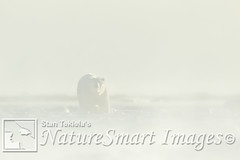 Polar Bear in snow Tekiela TAN2464 (Stan Tekiela's Nature Smart Wildlife Images) Tags: britishcolumbia canada carnivore mammals vertebrates vertibrate mammalia fur hair terrestrial land animal naturesmartwildlifewordsandimages polarbearursusmaritimus stantekiela copyright allrightsreservered stockimage professionalphotographer images wildlife animals nature naturalist wild stockphotos digitalimages critter stockimages wildlifephotography arctic churchillmanatobacanada coastal marine native outdoor photography saltwater