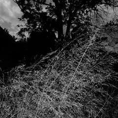 TERRA INCOGNITA (Grant Simon Rogers) Tags: grantsimonrogers  fujifilmx100t flnerie flasher flashing flneur terraincognita themanwhoflashedinthegrass london brockwellpark brixton hernehill soundofsilver susurration sooc dayfornight daylightwithflash england animamundi individuation thefirst10000 artistphotographers albion waltwhitman leavesofgrass doanythingbutletitproducejoy