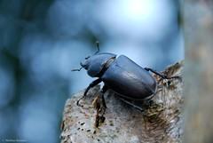 Lucane Cerf-Volant femelle - Lucanus cervus (Mathias Dezetter) Tags: scarab scarab beetle insect insecte invertbr arthropode faune fauna wild wildlife lucane lucanus nature