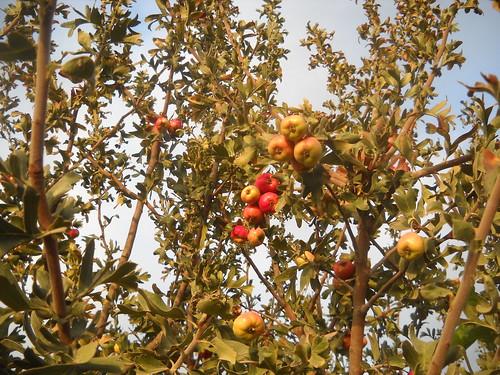 Zaarour Mayhow Berry Fruits Aug 7, 2016 (12)