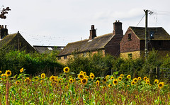 Sunflowers (littlestschnauzer) Tags: sunflowers summer warm warmth glow pretty farm farmhouse cawthorne south yorkshire uk british countryside rural august farming flowers old yellow nikon d7200 scene scenic picturesque