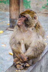 A Barbary macaque sitting on a wall (TimOve) Tags: vacation ferie trip summer sommer barbarymacaque rockape monkey gibraltar therock sitting furry