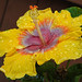 Yellow+%26+Orange+Hibiscus