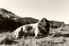portrait of a bull (Timoleon Vieta II) Tags: timoleon portrait cow sepia highlands bull landscape blood tear