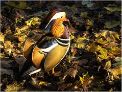 DSCN2992 (hermelin52) Tags: deutschland potsdam tiere tier vgel vogel ente animal fauna mandarinente
