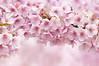 BUNCH OF SPRING (ajpscs) Tags: pink japan japanese tokyo spring nikon 桜 日本 sakura nippon 東京 hanami haru 春 d300 はる 花見 seasonchange ニコン 河津桜 kawazusakura ajpscs カワツザクラ bunchofspring