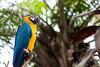 Gardien [Bali, Indonesia] (Melvinia_) Tags: park blue bali tree green bird nature colors yellow jaune canon indonesia 50mm bokeh parrot vert bleu arbre oiseau papagei balibirdpark perroquet indonésie canoneos450d digitalrebelxsi