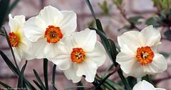 Sassy (Kaptured by Kala) Tags: nature spring daffodils springflowers narcissus jonquil springbulbs springflower garlandtexas orangeandwhitedaffodil