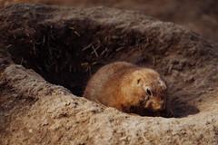 Prairie Dog (Garret Voight) Tags: shadow dog brown nature minnesota animal mammal outdoors zoo rodent hole wildlife dirt wilderness mn mounds applevalley prairiw