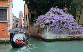 在花開的時節到來   ~ Gondola, Visitor,  Boatman  &  Wisteria @ Grand Canals  , Venezia  威尼斯~