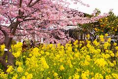 DS7_1666.jpg (d3_plus) Tags: street sea sky plant flower nature car rain japan drive spring scenery cloudy wideangle rainy  cherryblossom  sakura   shizuoka    touring  izu  kawasaki  superwideangle  kawazu          a05  kawazuzakura  1735mmf284 tamronspaf1735mmf284dildasphericalif tamronspaf1735mmf284dildaspherical d700  nikond700 tamronspaf1735mmf284dild tamronspaf1735mmf284 kawazucherryblossom tamronspaf1735mmf284dildasphericalifmodela05