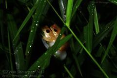 Chiromantis nongkhorensis (Kevin Messenger) Tags: canon thailand kevin wildlife amphibian frog breeding 7d messenger herpetology nakhon amplexus ratchasima chiromantis kevinmessenger nakhonratchasimaprovince nongkhorensis