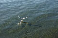 Taking Off (Junnn) Tags: sea canada bird beach water sigma whiterock merrill dp3 dp3m