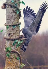 Harrier Hawk (Mandyjj543) Tags: wild bird nature wings hawk wildlife flight hunter prey wilderness rapture harrier