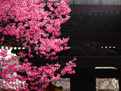 Prunus lannesiana cv. 'Kawazu-zakura' (Shiori Hosomi) Tags: flowers plants japan cherry tokyo march blossoms  sakura   prunus  rosales  rosaceae 2015       23