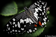 Patience (_Natasa_) Tags: white black macro green art nature closeup canon butterfly leaf wings dof bokeh patience butterflyworld blackandwhitebutterfly canoneos7d canonef100mmf28lmacroisusm natasaopacic natasaopacicphotography