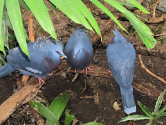 Victoria Crowned Pigeons (bookworm1225) Tags: zoo october minnesotazoo 2013 tropicstrail minnesotatrail