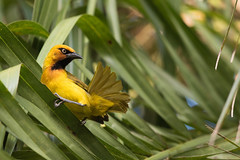 Spectacled Weaver (Ploceus ocularis) looking up from preening (Dave Montreuil) Tags: africa male bird nature animal looking view adult african south tail profile feathers preening palm frond east malawi perched weaver sideview spectacled perching brightyellow ploceus ocularis