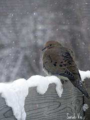 (Sarah-Vie) Tags: hiver neige img tourterelle 9831