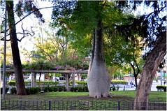 """Cette place, La Plaza 25 de mayo, est située à l'endroit exact où fut fondée la ville. Plantée de palmiers, d'orangers et de pallos borrachos (""""les bâtons ivres"""") autour de la statue de José de San Martin, elle offre un lieu de rdv ombragé aux habitants. (Barbara DALMAZZO-TEMPEL) Tags: argentine parc centreville larioja nordouest bâtonivre pallosborrachos"""