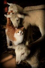 Curiosity-6743 (linmacb1) Tags: barn farm iowa lamb