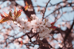 Cherry blossoms (Pantalymon) Tags: sun beautiful cherry spring warm blossoms colourful