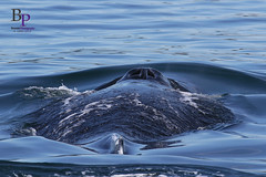 8L4A5430 (Bonnau_Photo) Tags: 2 canon mark double blowhole 7d whale humpback sanjuanislands humpbackwhale 100400 islandadventures 7dmark2 doubleblowhole