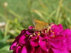 DSC00053 (gregnboutz) Tags: flowers flower macro butterfly butterflies macros macroflowers macroflower bloomingflower bloomingflowers pinkzinnia pinkzinnias macrozinnia colorfulmacros colorfulzinnias gregboutz bloomingzinnias macrozinnias